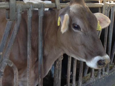 希少なスイス原産のブラウンスイス牛から搾った生乳を使用